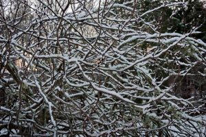 Cercis chinensis dramatized by snow.
