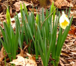 The daffodils are just beginning to awaken to spring's distant call.
