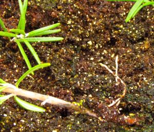 Rosemary cuttings are showing signs of healthy roots.