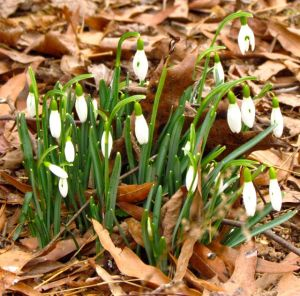 Snow drops signal spring's imminent arrival.