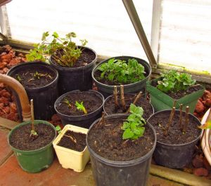 Pots of perennials settled on my greenhouse floor.