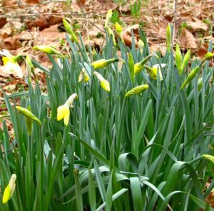 More sunny daffodils open every day.