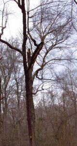 This tree is part of a group of River Birches, all 80 feet or taller.