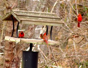 Cardinals already battle for territory. The Purple Finch female with them must be very hungry to brave their grouchy company.