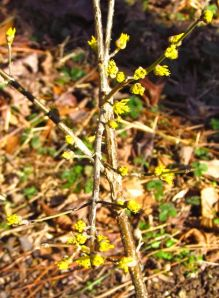 The small flowers of Cornus mas 'Spring Glow' are difficult to capture with my little camera.
