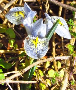 Pale dwarf crested iris flowers almost disappear in this overgrown area.