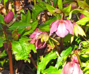 Lenten Roses usually begin blooming before Lent in my yard.