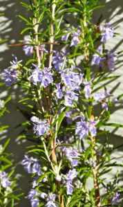 This rosemary blooms at least a bit every month of the year.