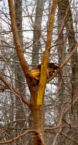 A chunk of River Birch sits smugly in the crotch of the Stewartia -- just out of my reach.