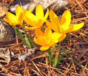 "Nothing screams ""Spring!"" like sunny crocuses."