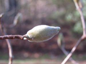 Swelling flower bud of Magnolia 'Elizabeth'