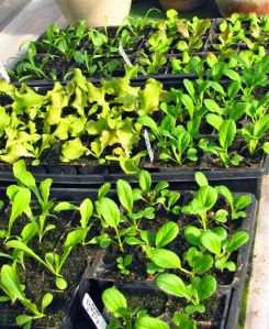These greens are ready to transplant as soon as their beds are ready.