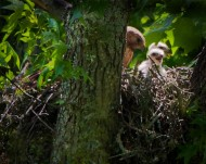 Red-shouldered Hawk with chicks