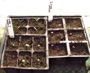 Tiny basil and marigold seedlings will need another week or so to reach transplanting size.