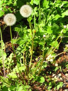 With the Hawksbeards on either side of this Dandelion. Yes, they are even crowding out the Dandelions!