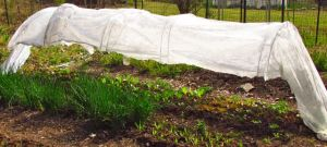 Greens thrive beneath their canopy of garden cloth.