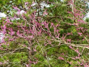 Cercis canadensis flowers are just starting to show up.