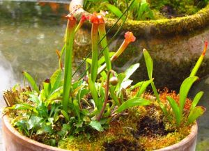 So far, only one flower bud (foreground) has appeared on my pitcher plants. I can only hope for more again next year.