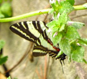 I'm fairly certain I heard this butterfly snickering at me as I chased it all over the yard trying to photograph it.
