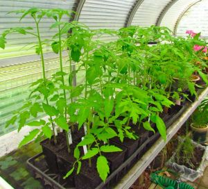 Seed-grown tomatoes are ready for transplanting as soon as our weather moderates.