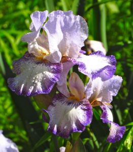 Bearded iris buds are favorite deer delicacies and must be sprayed. Once the flowers are fully open, they are ignored.