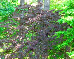 Cercis canadensis 'Forest Pansy.' Of course, the spring flowers of this tree also feed my passion for purple.