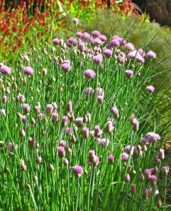 Chives and friends
