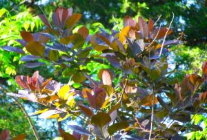 Cotinus 'Grace.' If you click to enlarge the photo, you can just make out the just-emerging flower stalks.