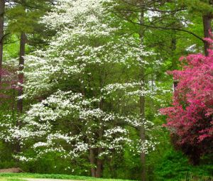 About 40 feet tall, this native Dogwood is at least 50 years old, maybe even older.