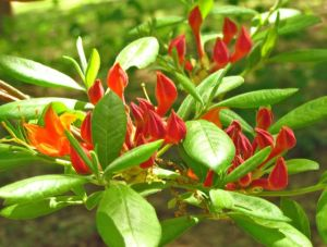 R. flammeum buds just beginning to open.