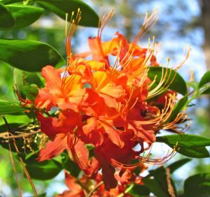Native Rhododendron flammeum in full bloom.