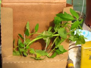 May 9 grafted tomatoes still in their shipping box.