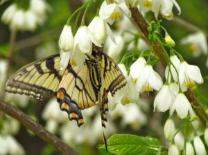 Eastern Tiger Swallowtail enjoying flowers of Halesia diptera