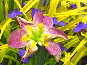 Louisiana Iris, cultivar forgotten