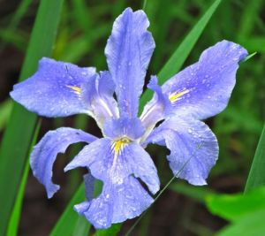 A truly purple, well lavender anyway, Louisiana Iris