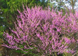 There's no way it would be spring in my landscape without this color show from our native Redbuds.