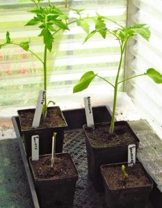 Status of same varieties of seedling and grafted plants on the day the grafted ones arrived  on 4-25-13.