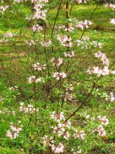 Pinxterbloom Azalea is native to the southeastern Piedmont.