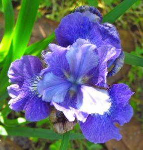 Siberian iris, cultivar forgotten