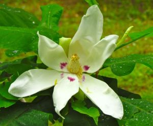 This year's final flower on Ashe Magnolia.