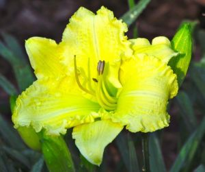Daylily 'Brocaded Gown'