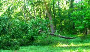 The other side of the fallen Slippery Elm.