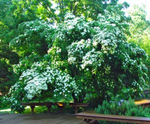 Evergreen kousa dogwood weighed down by blossoms.