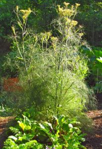 Beets and carrots flourish in front of this Bronze Fennel.