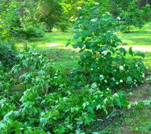 Only a few small branches of the hydrangea required surgery.