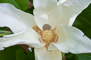 The petals are as thick and creamy as those of our more familiar Southern Magnolia.