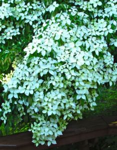 Evergreen kousa dogwood blossoms crowding out the leaves.