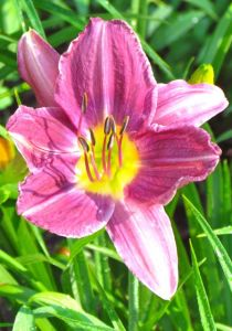 "Daylily ""Prairie Blue Eyes' isn't really blue, but she's a looker for sure."