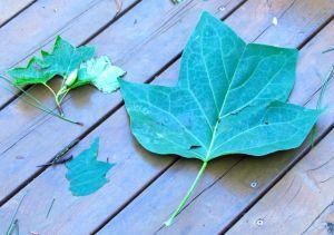 Shade leaves versus canopy-top leaves.