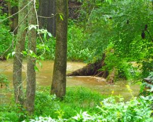 That's the root ball of the Ash in the middle of the raging current crossing our floodplain.
